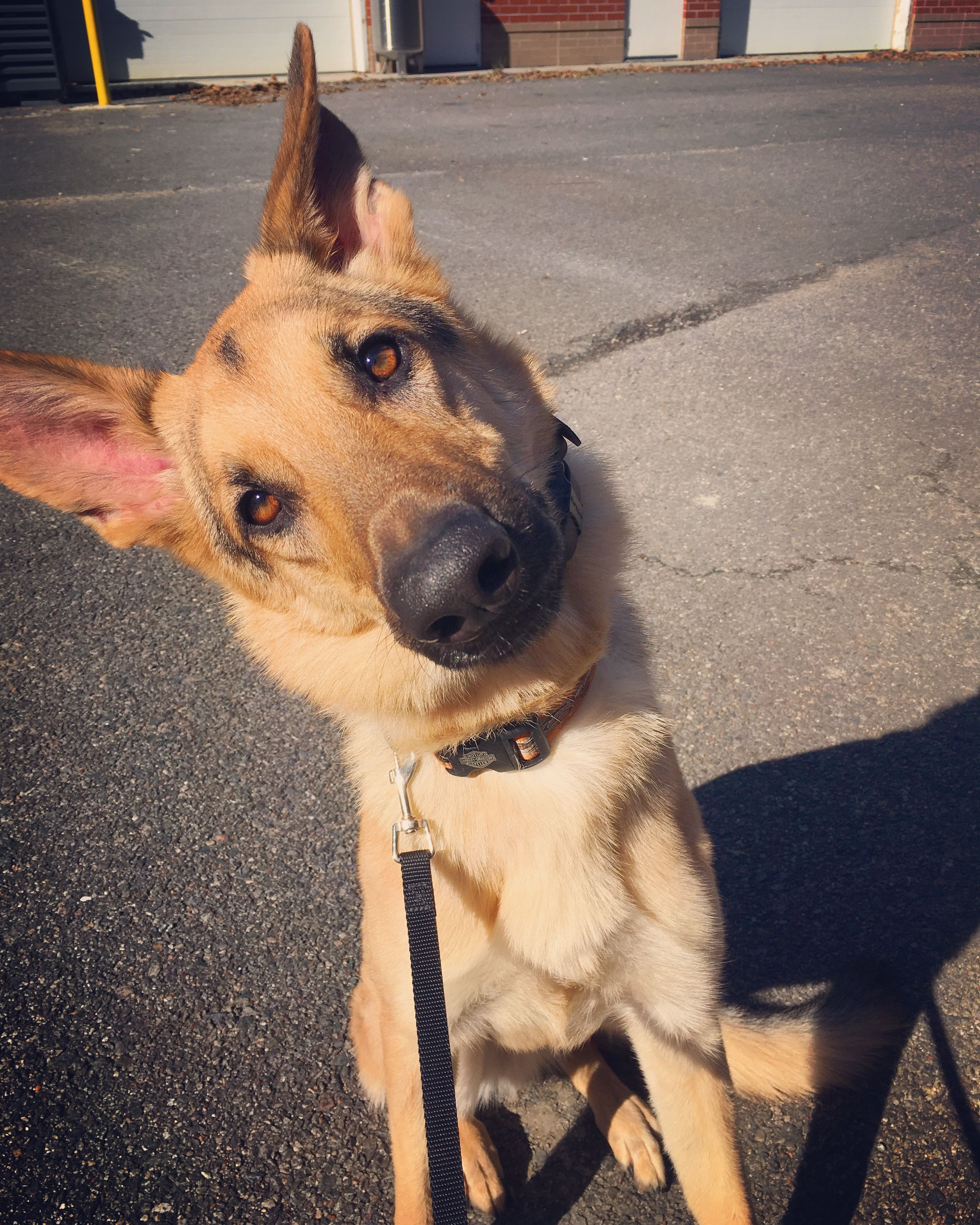 German Shepherd Dog Dog For Adoption In Morrisville Nc Adn