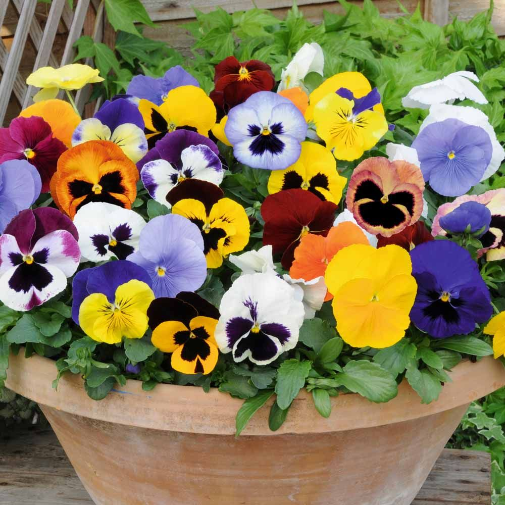 Special Offers Content Scalp Wood Nurseries Flower Seeds Pansies Flowers Biennial Plants