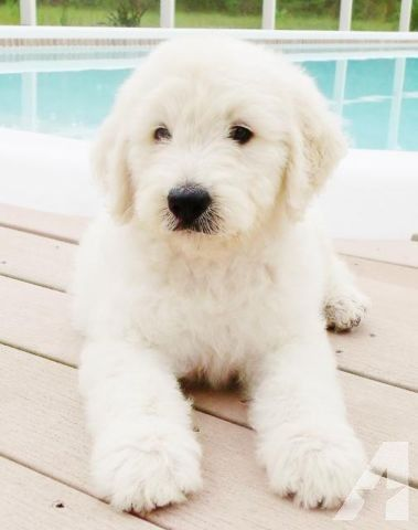 Gorgeous Long Haired English Cream White Goldens Images Google