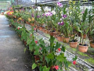 My Green Finder United Malaysian Orchids Bulk Orchid Buying Rental Orchids Plant Nursery Plants