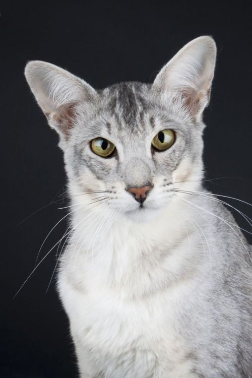 Black Silver Ticked Tabby Tabby Cat Tabby Cat Pictures Orange Tabby Cats