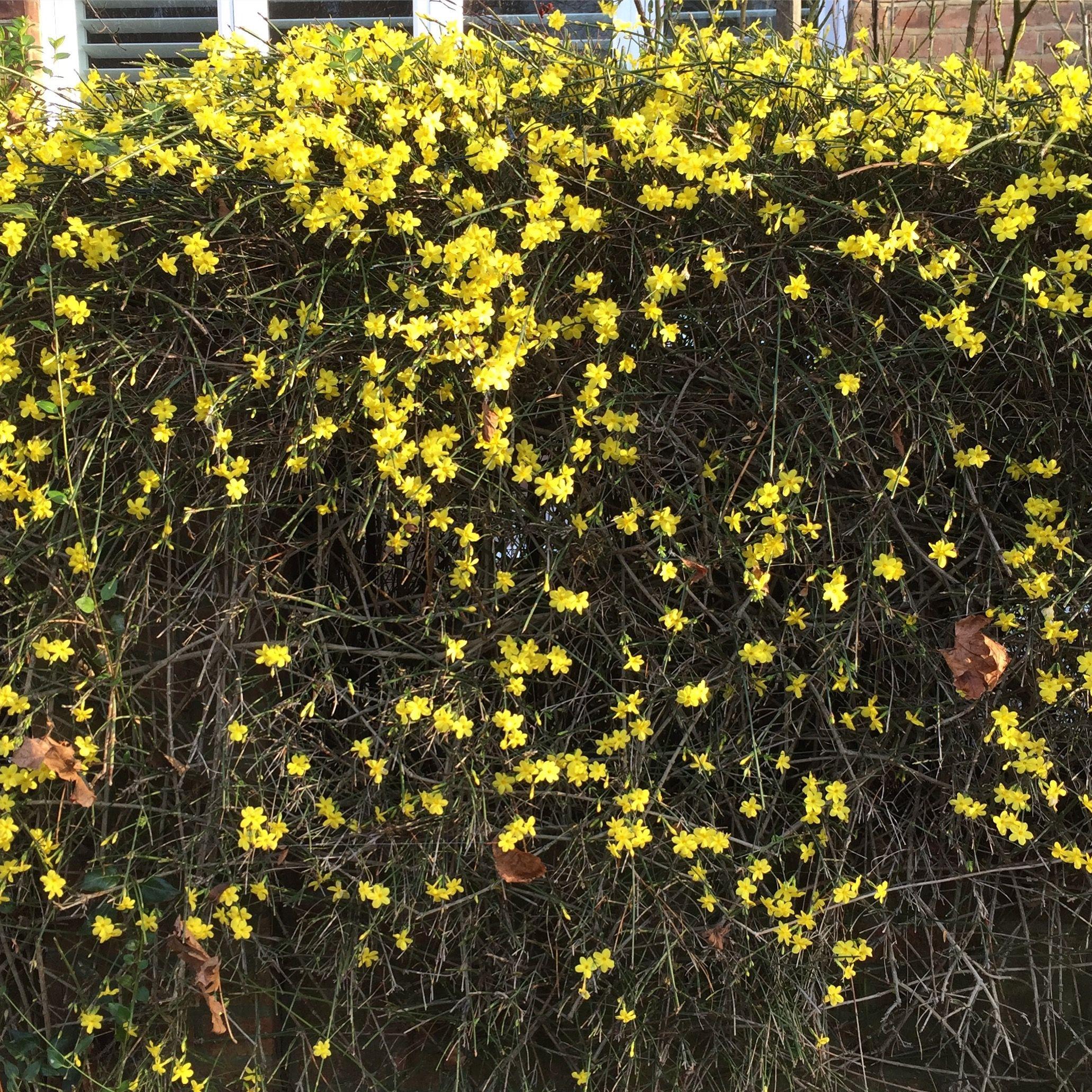 Winter jasmine jasminum nudiflorum lovely winter hedge hedges winter jasmine jasminum nudiflorum lovely winter hedge izmirmasajfo Image collections