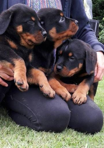 Rottweiler Dogs For Sale In United States Pennsylvania Strasburg
