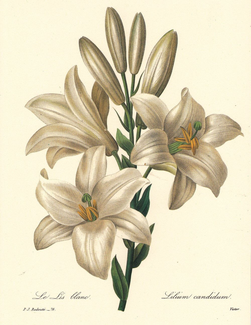 botanical digital download, a white lily by Pierre Redoute