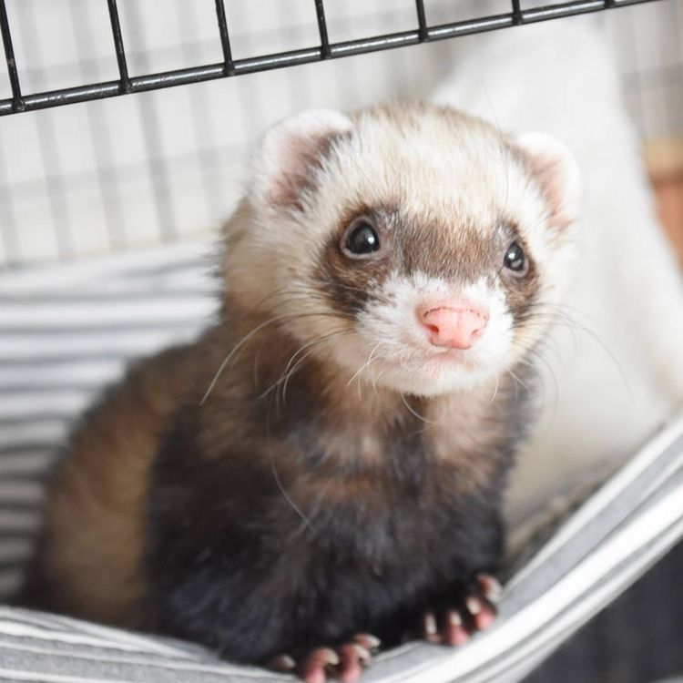 Pin By Karrie Chauvin On Kitties In 2020 Cute Ferrets Pet Ferret Funny Ferrets