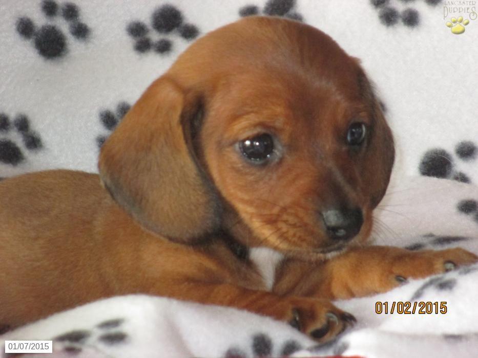 Bryan Dachshund Puppy For Sale In East Earl Pa Dachshund