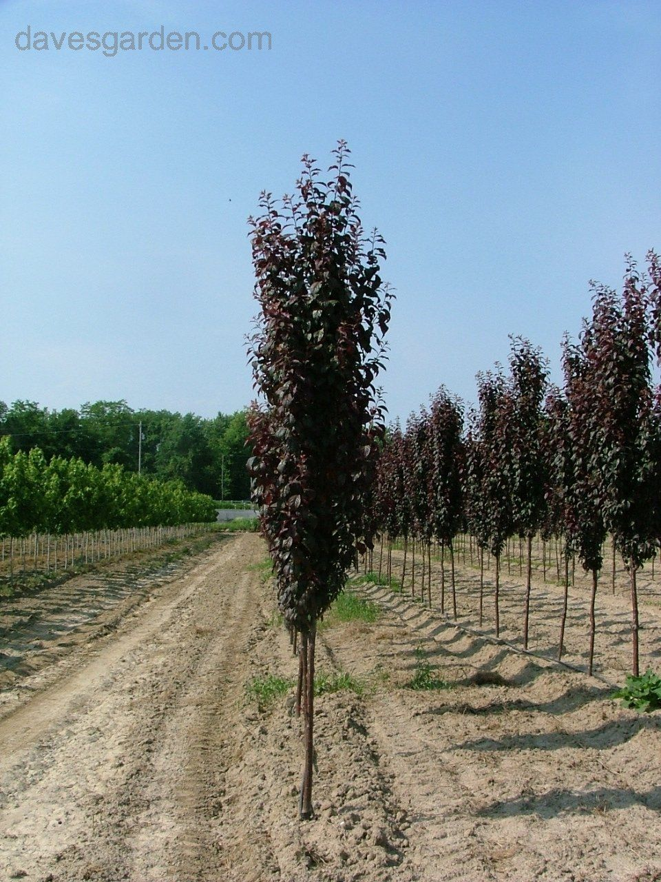 Based On What I Know About Trees That Are Grown In Southern California Nurseries Crimson Pointe Columnar Plum Should Be A Good Candidate