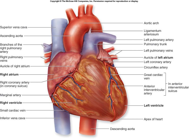 Picture Nursing Board Heart Diagram Anatomy Heart