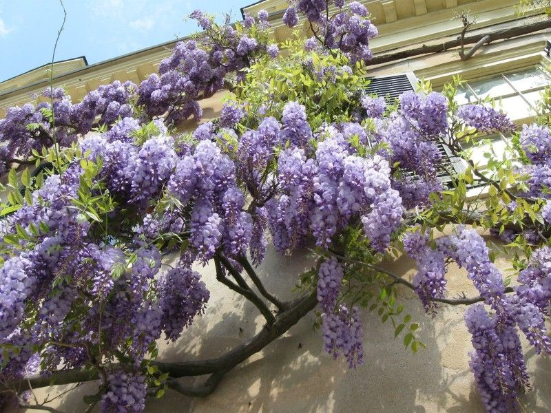 wisteria sinensis is a woody deciduous perennial climbing vine in the genus wisteria native. Black Bedroom Furniture Sets. Home Design Ideas