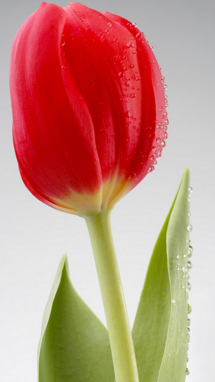 Tülips tulips flowers pinterest flowers tulips and beautiful