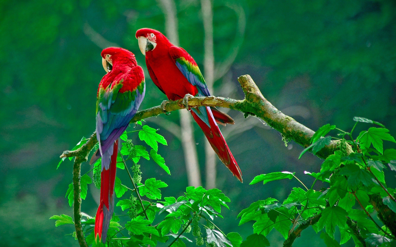 Jungle Wild Parrots 3d Desktop Wallpaper Nature Photography Parrot Wallpaper Beautiful Bird Wallpaper Birds Wallpaper Hd Hd wallpaper red and blue parrots