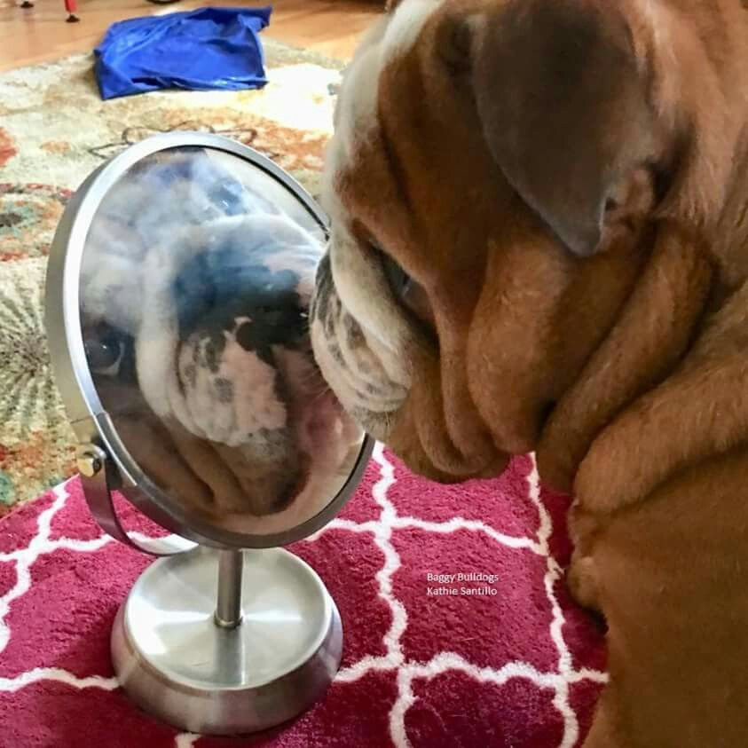Mirror Mirror On The Bulldog Puppies Cute Funny Dogs Basic