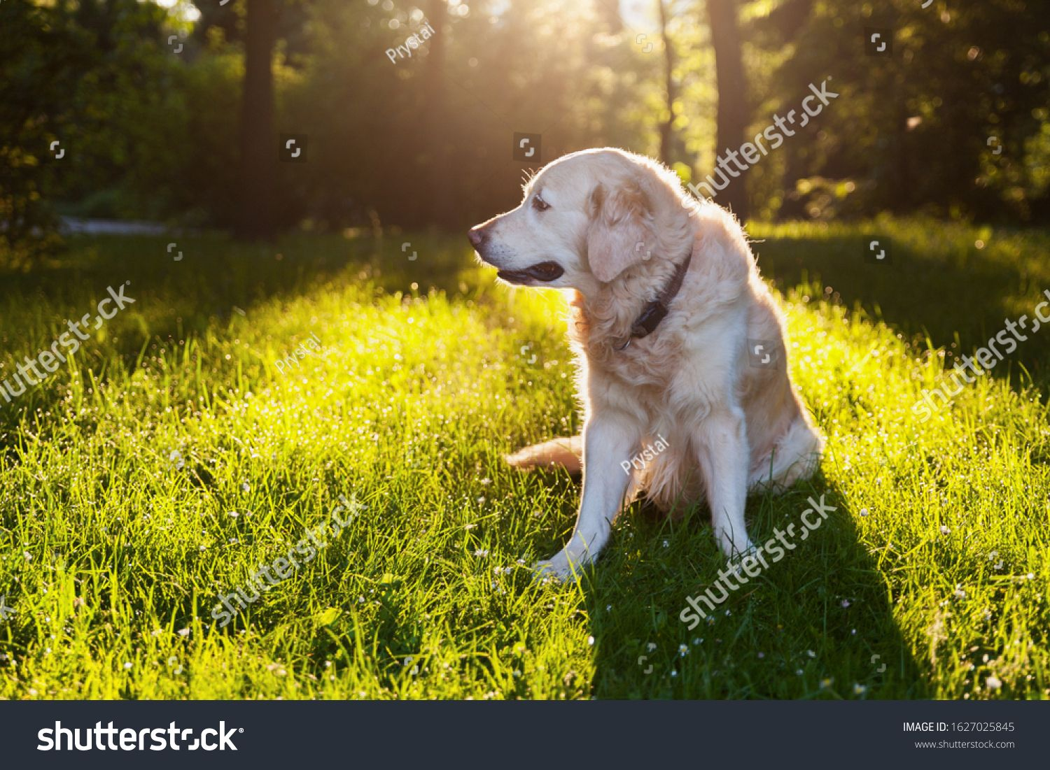 Golden Retriever Puppy Dog Sitting Outdoors On Green Grass With