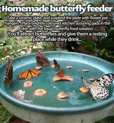 Homemade Butterfly Feeder!  Liquid butterfly food: Sugar water.