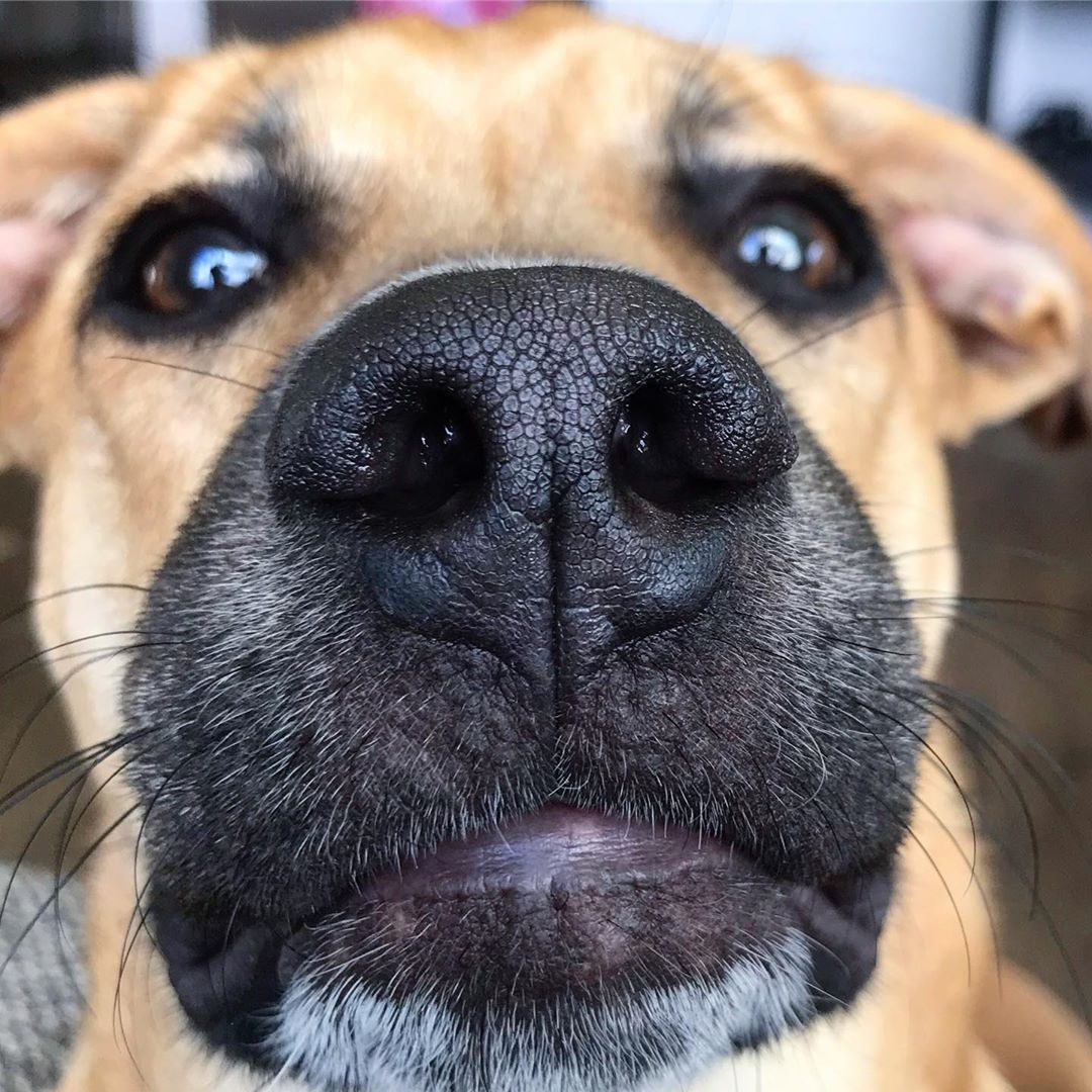 Mountain Cur Dog Breed Breed Facts Temperament Blackmouthcur Blackmouthcurdaily Mountaincurdogs Mountaincur Dog Dogs Pet Follow T Mountain Cur Dog Dogs Black Mouth Cur Dog