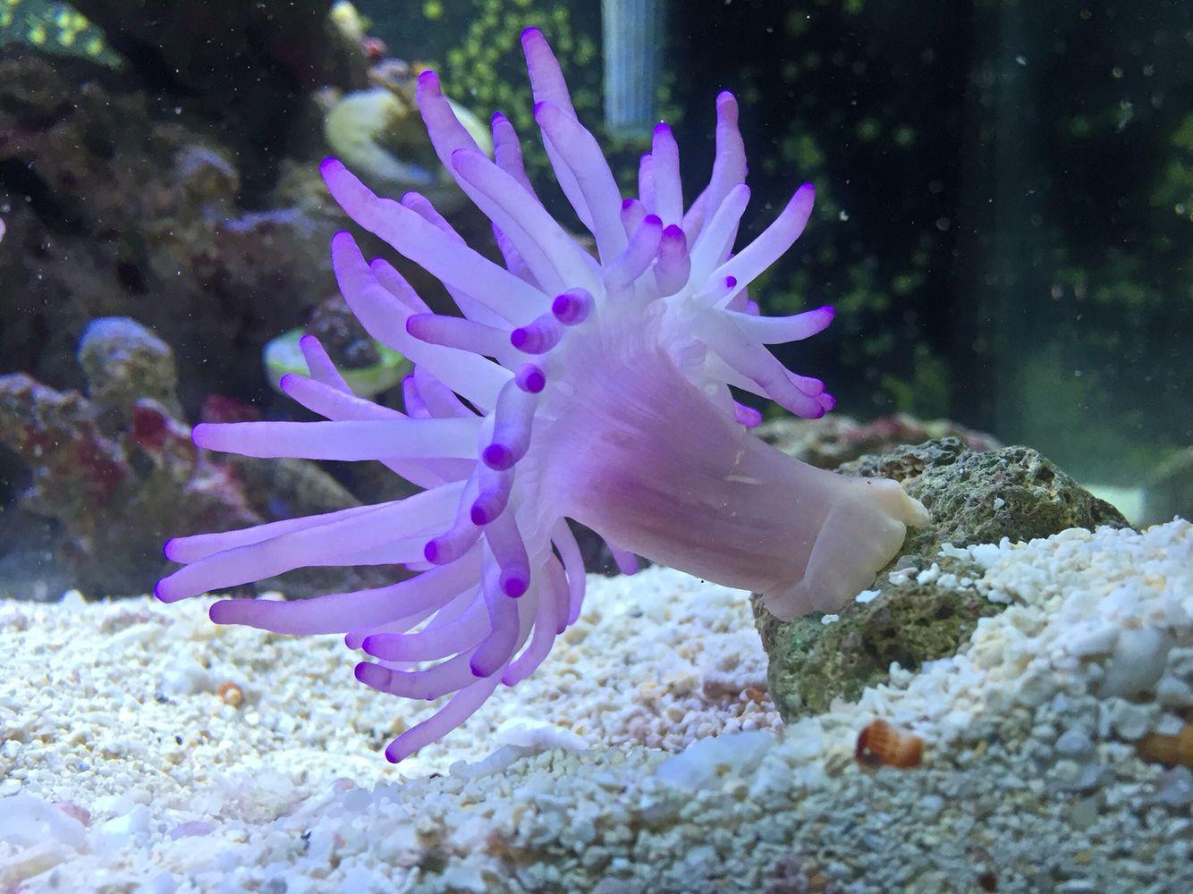 purple sea anemone fish