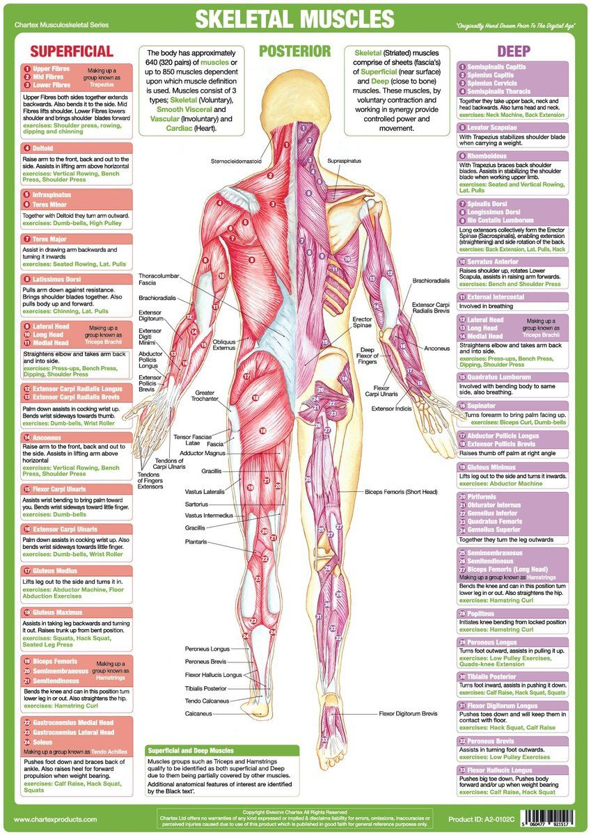 hight resolution of technical medical chart clearly identifying posterior skeletal muscles defining muscle actions and exercises to develop specific muscles