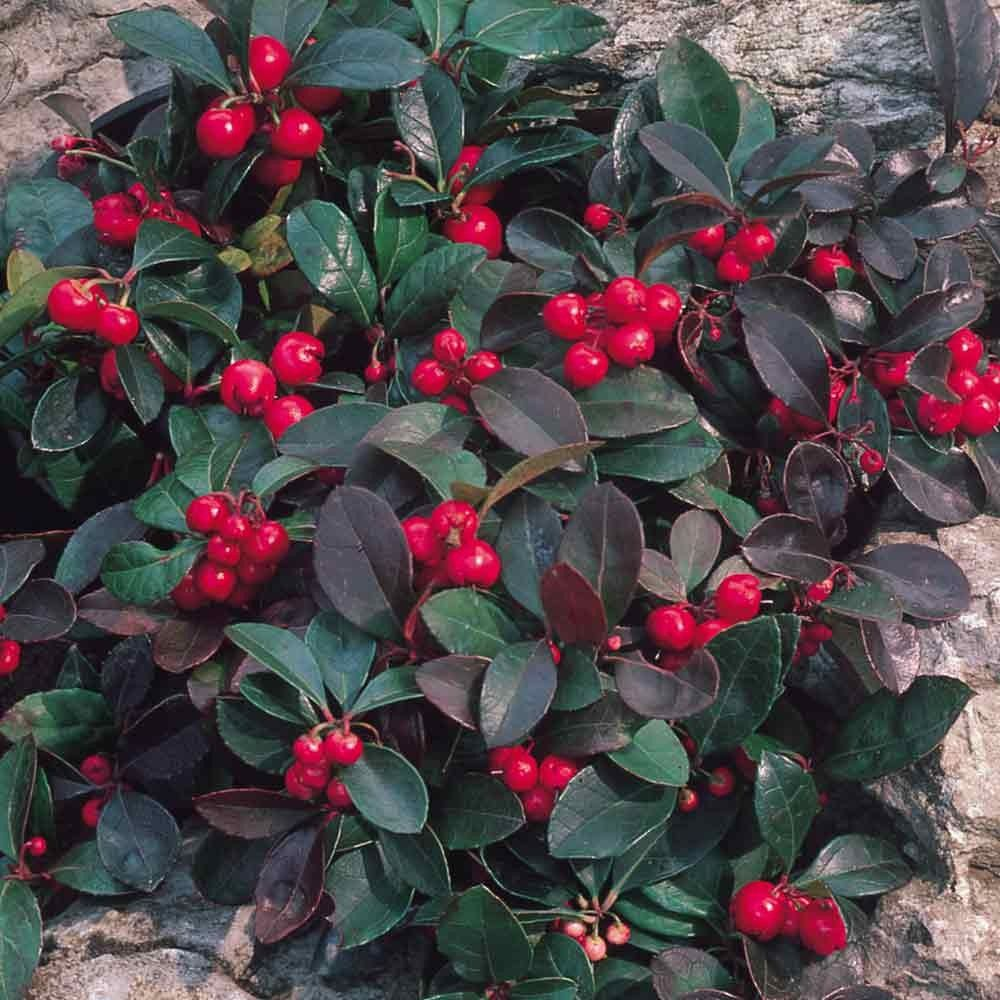 Gaultheria procumbens partridge berry garden plants pinterest