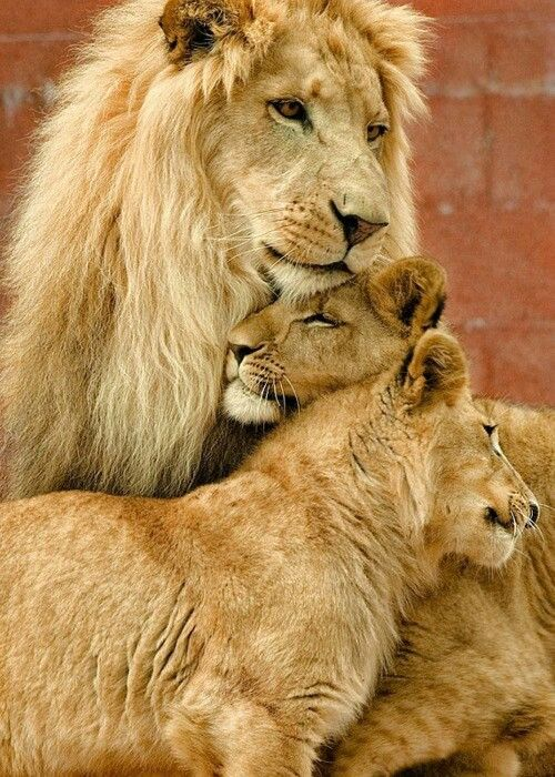 Awww a daddy with his two cubs! <3 <3 <3