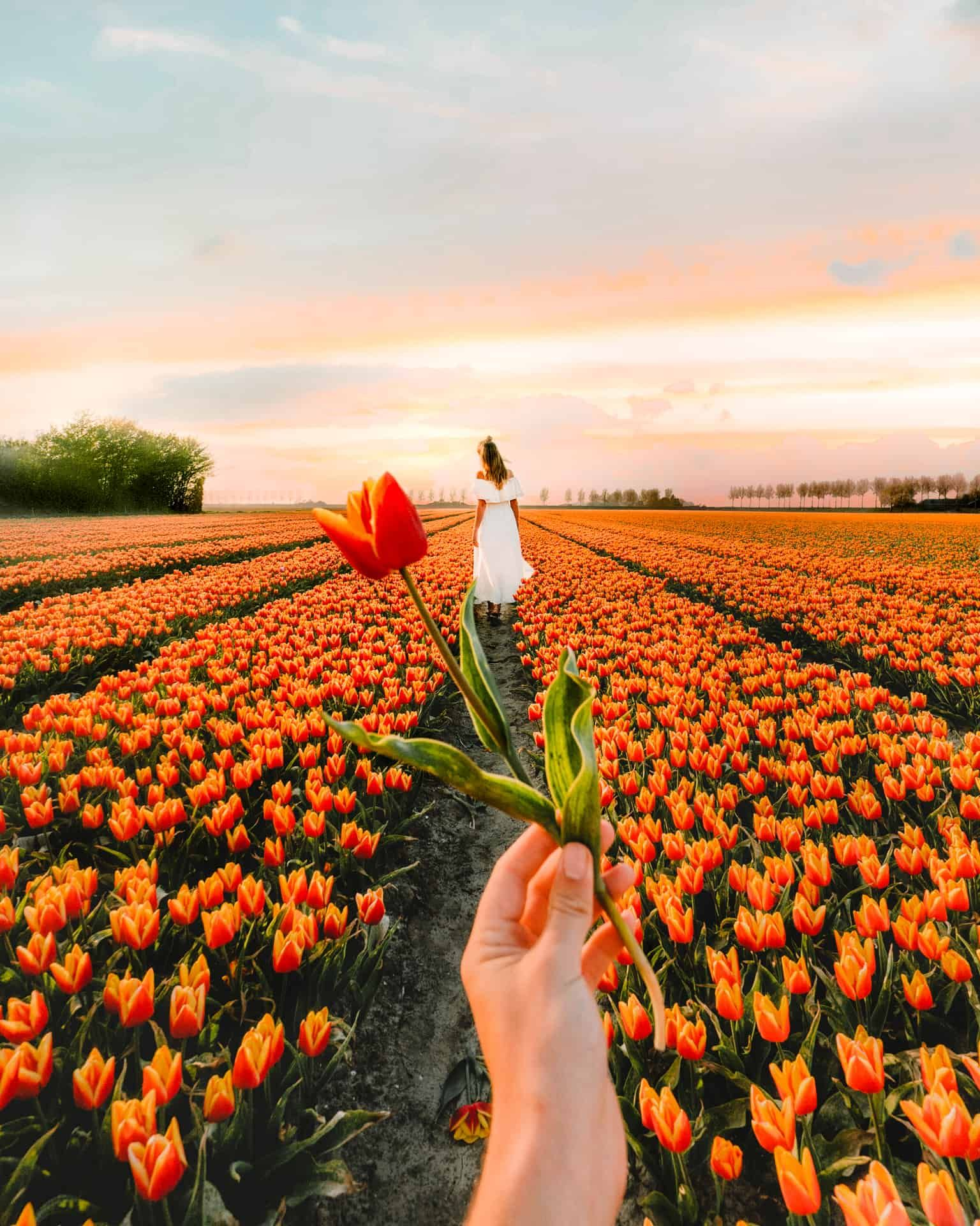 Tulips Netherlands Best Place To See Tulips In The Netherlands Tulip Fields Fields Photography Tulip Fields Netherlands