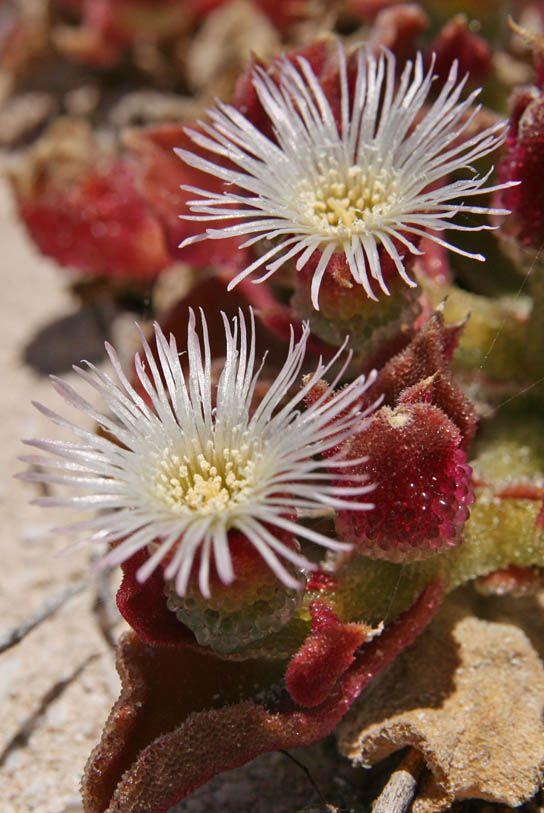 Erba ghiaccio- Mesembryanthemum crystallinum- i tuoi sguardi mi raggelano