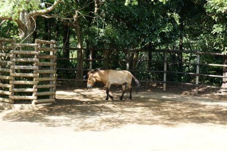 千葉動物公園 ハクギュウとモウコノウマ 動物公園 家畜 千葉