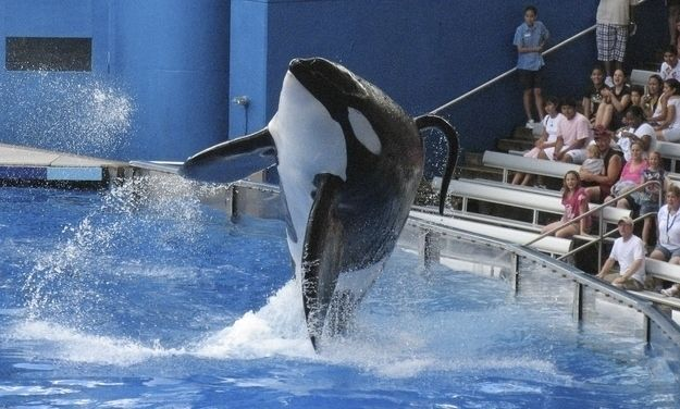 Limited swimming space, stress, and warmer water temperatures can cause their fins to collapse over. | 11 Facts Everyone Should Know About Orca Captivity