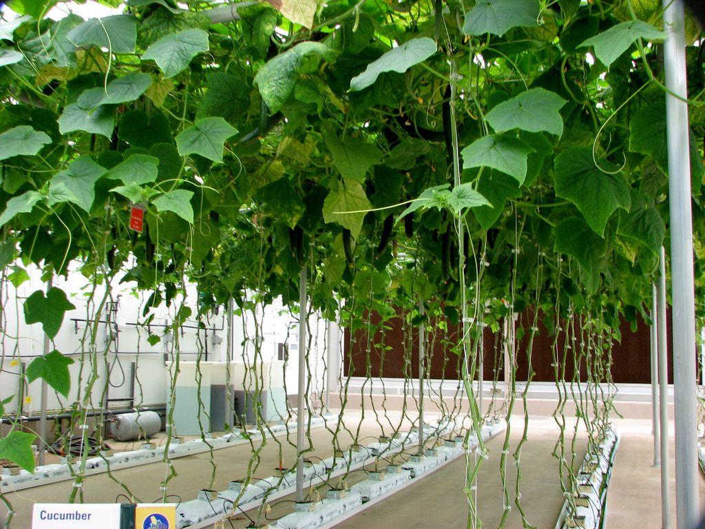 Hydroponic cucumbers growing in a rockwool growing media for Hydroponics aquaponics