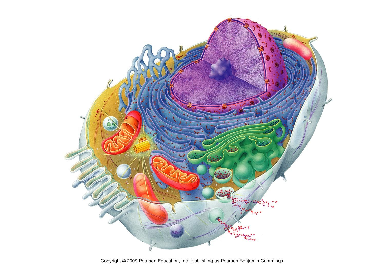 Biology Pictures Cell Structure Printable Human Cell Diagram Physiology Anatomy And Physiology