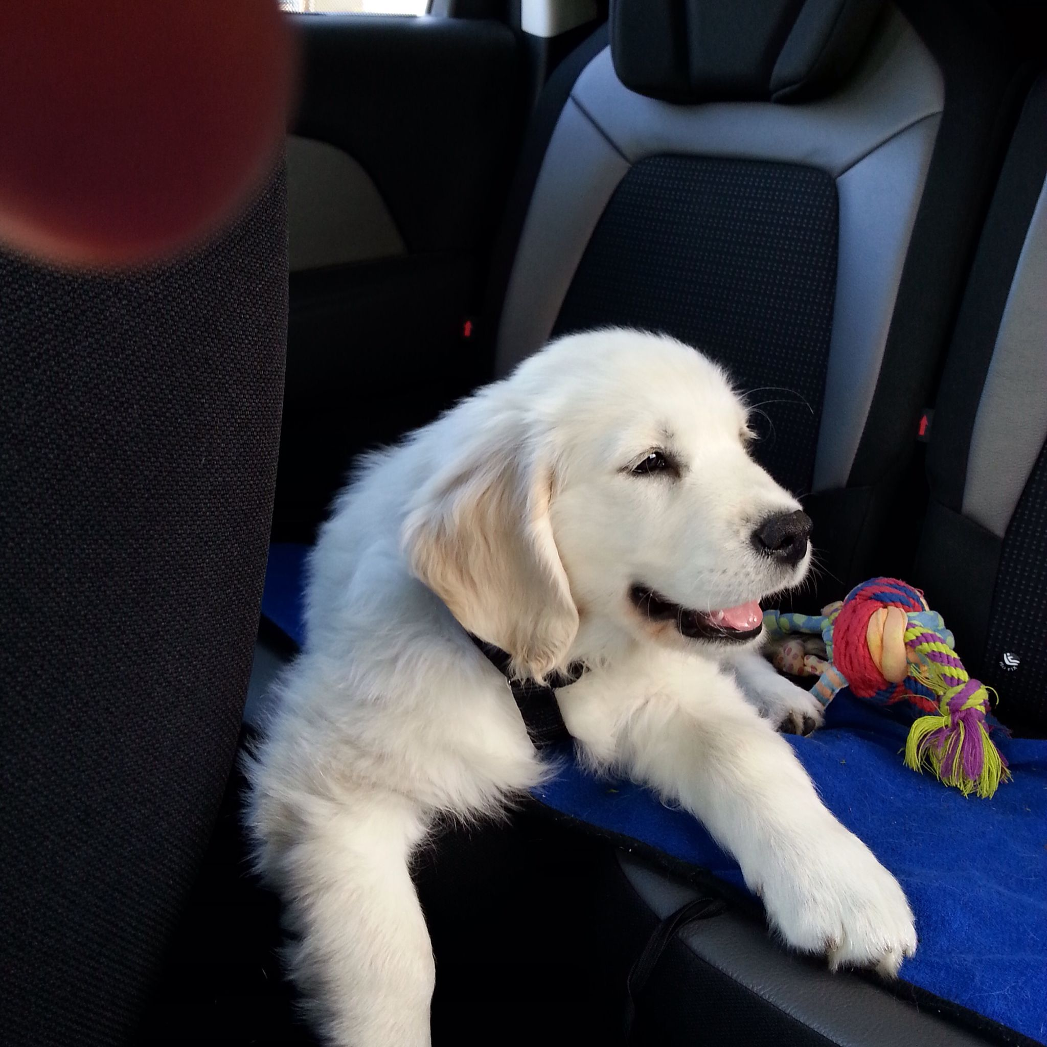 La voiture. J'adore !!! White golden retriever puppy