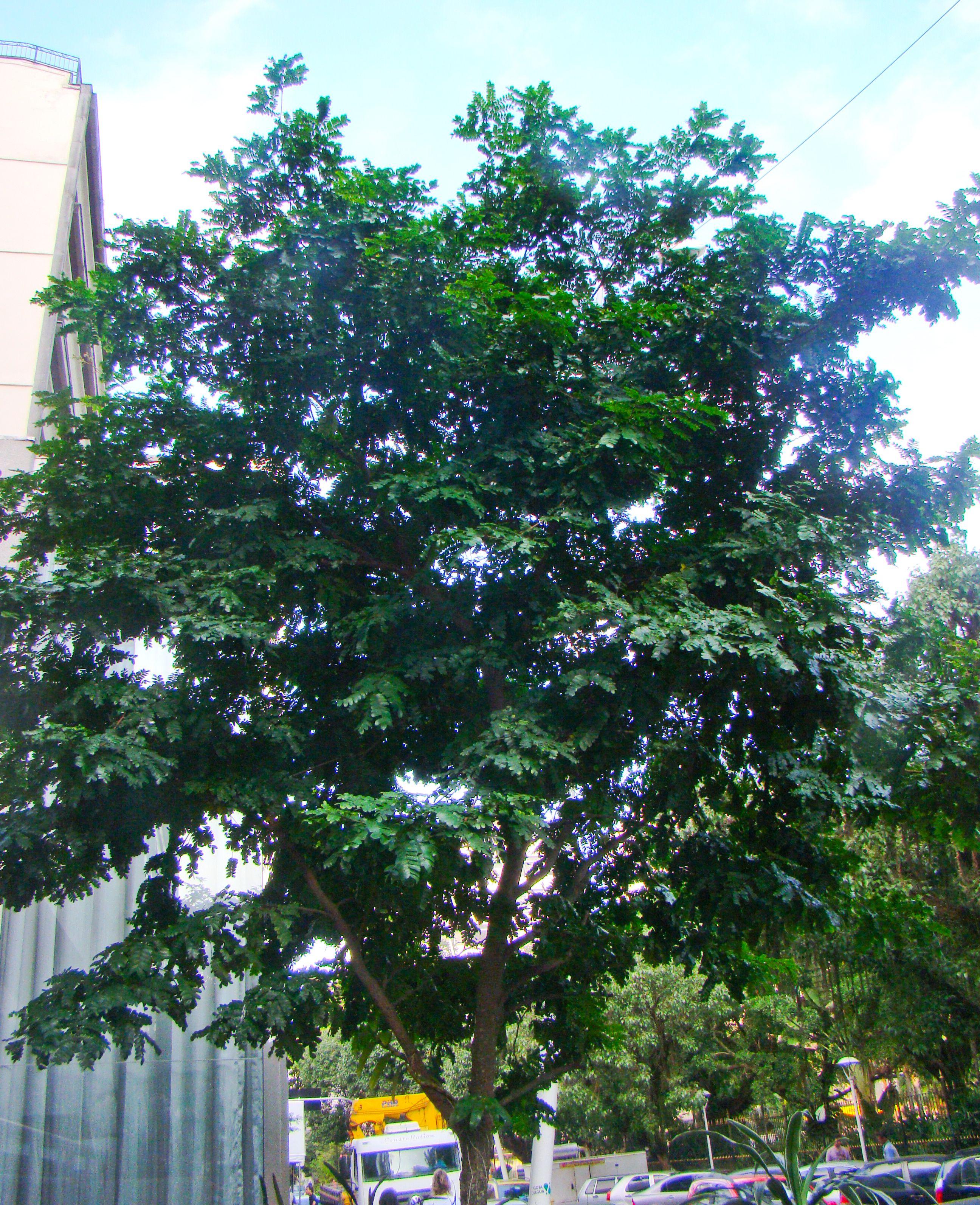 Um jovem Pau Brasil cresce numa praça do Rio de Janeiro. Todos os brasileiros têm motivos de sobra para se orgulhar da linda árvore que deu nome ao país!