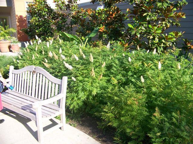 Sorbaria Sorbifolia Sem Sem Ural False Spirea On Plantplaces Com Spirea Plants English Garden