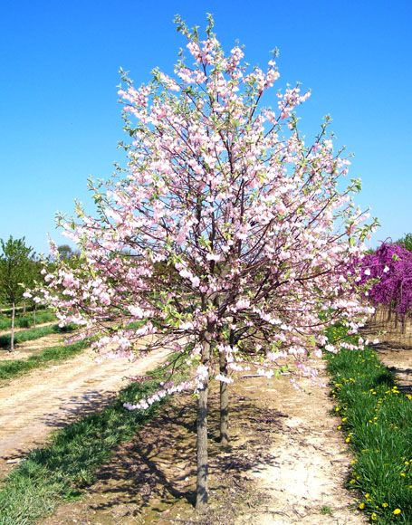 Arnold Pink Mountain Silverbell Trees Halesia Monticola Tree Photos Moon Nurseries Flowering Trees Pink Mountains Moon Nursery