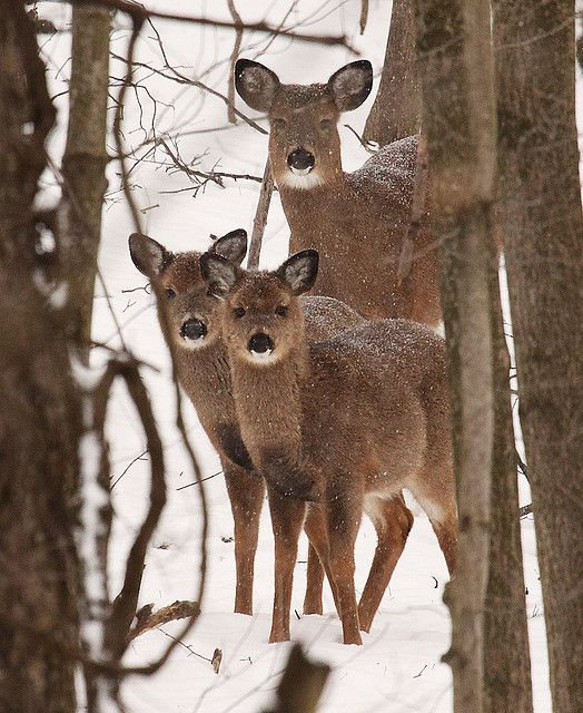 Twins and Mama Doe.  Very unusual?    But aren't 't they an elegant pair ! Mom is so very proud, isn't she ?