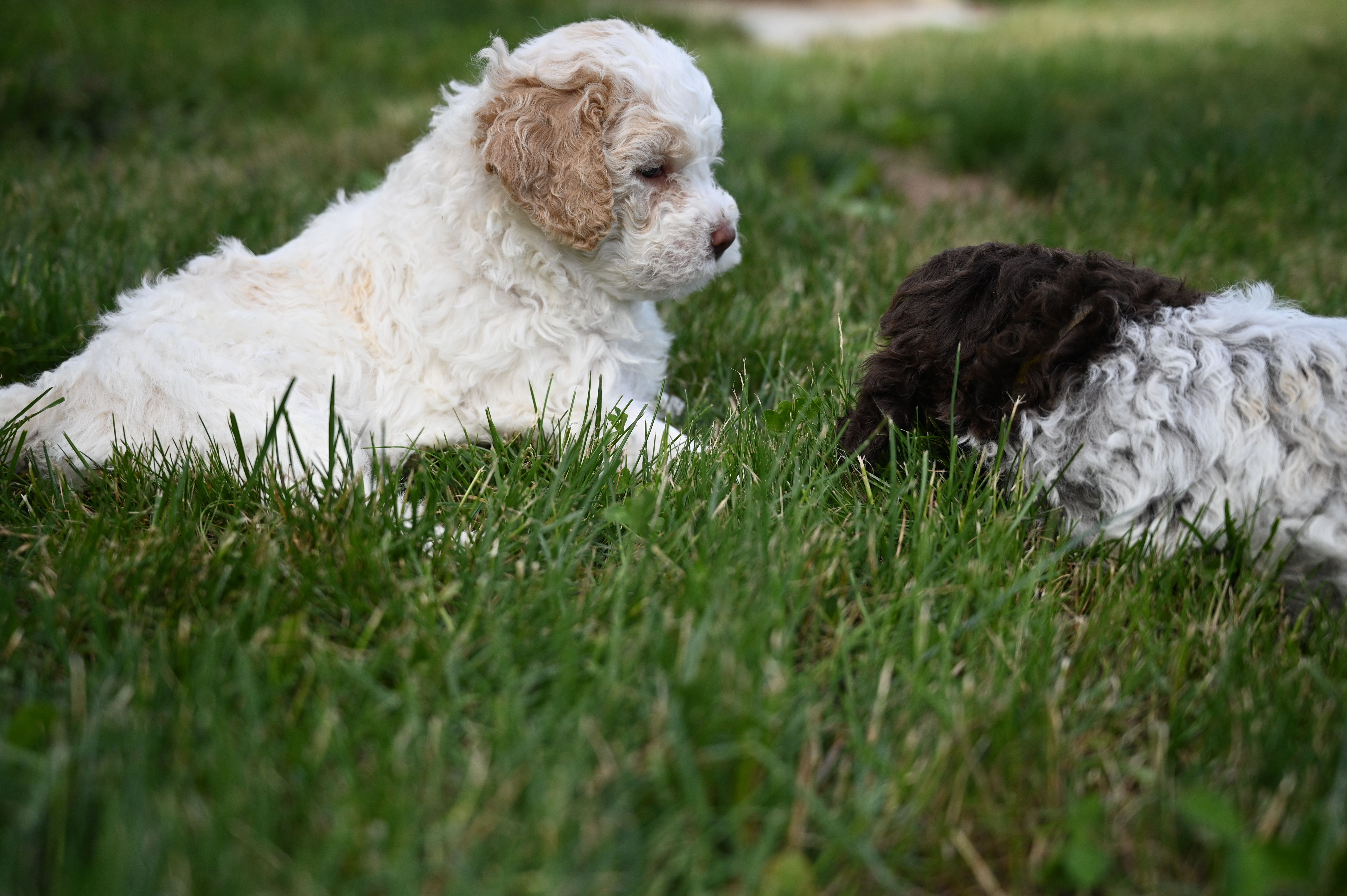 Northwestlagotto Goes To Lengths To Ensure That Your Puppy Is