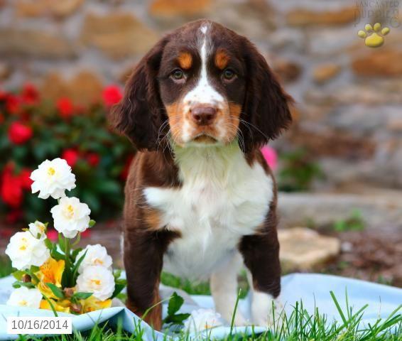 English Springer Spaniel Puppy For Sale In Pennsylvania Spaniel
