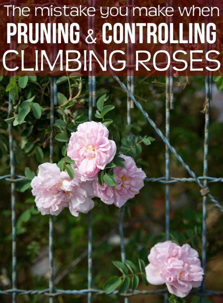 The Mistake You Make When Pruning And Controlling Climbing Roses Climbing Roses Fruit Trees Flower Garden
