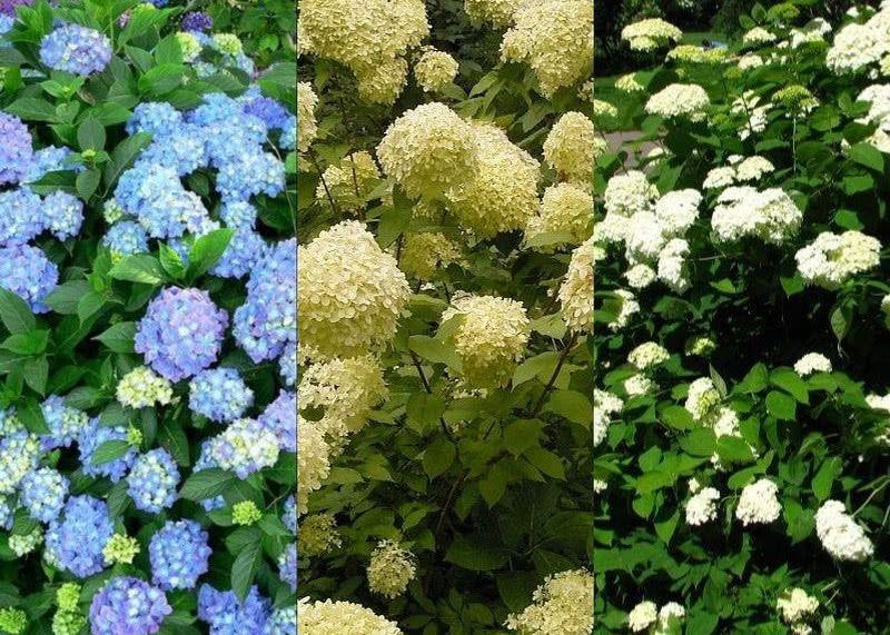 Przycinanie Hortensji Plants Grapes Close Image