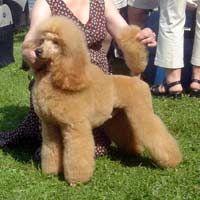 Alegros Poodles Poodle Toy Poodle Puppies Puppies