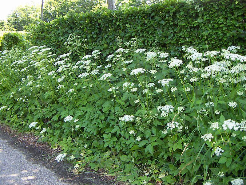 Ground Elder - Aegopodium podagraria | Shade Garden | Pinterest ...