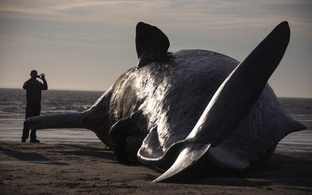 Un cachalote embarrancado en una playa cerca de Skegness (Dan Kitwood, 2016)