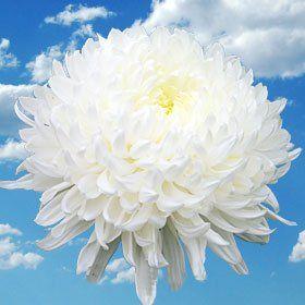 Beautiful White Chrysanthemum Disbud Flowers White Chrysanthemum Chrysanthemum Flowers Today