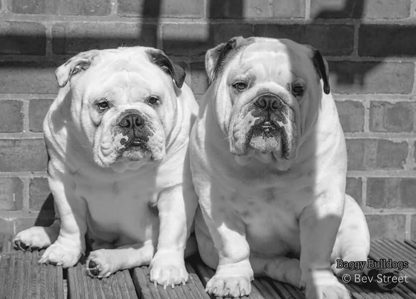 Baggy Bulldogs Bulldogs British Bulldog Bully Dog Dogs