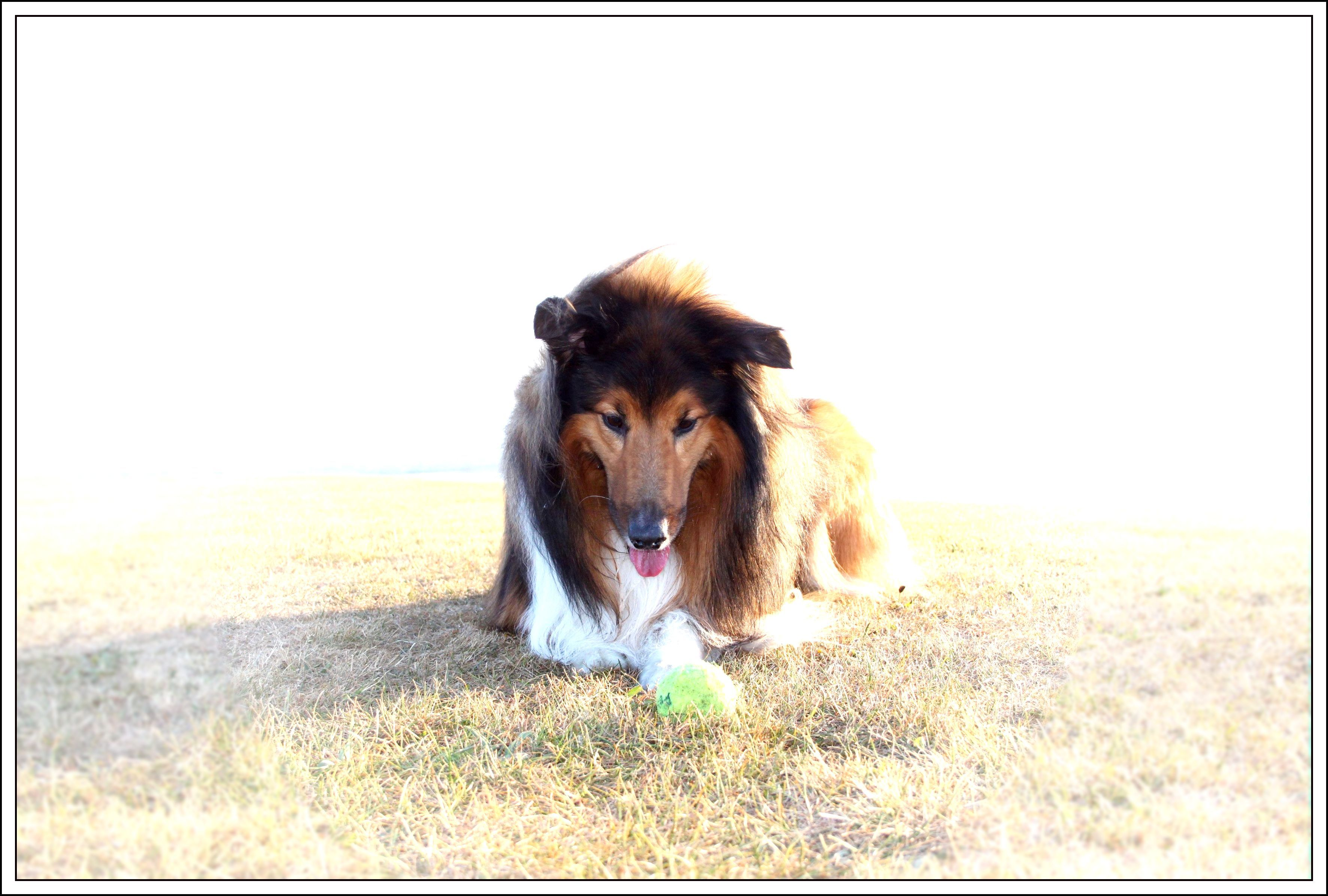 Pin by Tracey Valente on Sammy Rough collie, Collie, Dogs