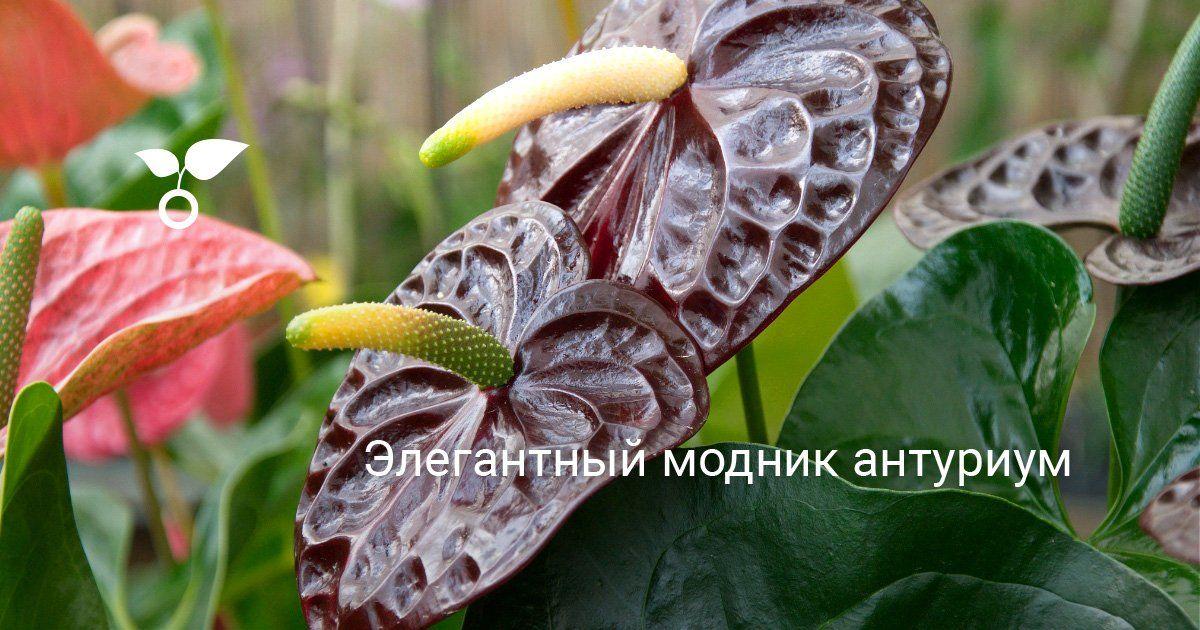 Элегантный модник антуриум в 2020 г   Растения, Каллы ...
