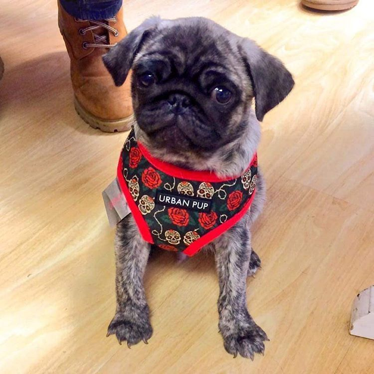 Puppia Skulls Roses Harness Available At Www Ilovepugs Co Uk