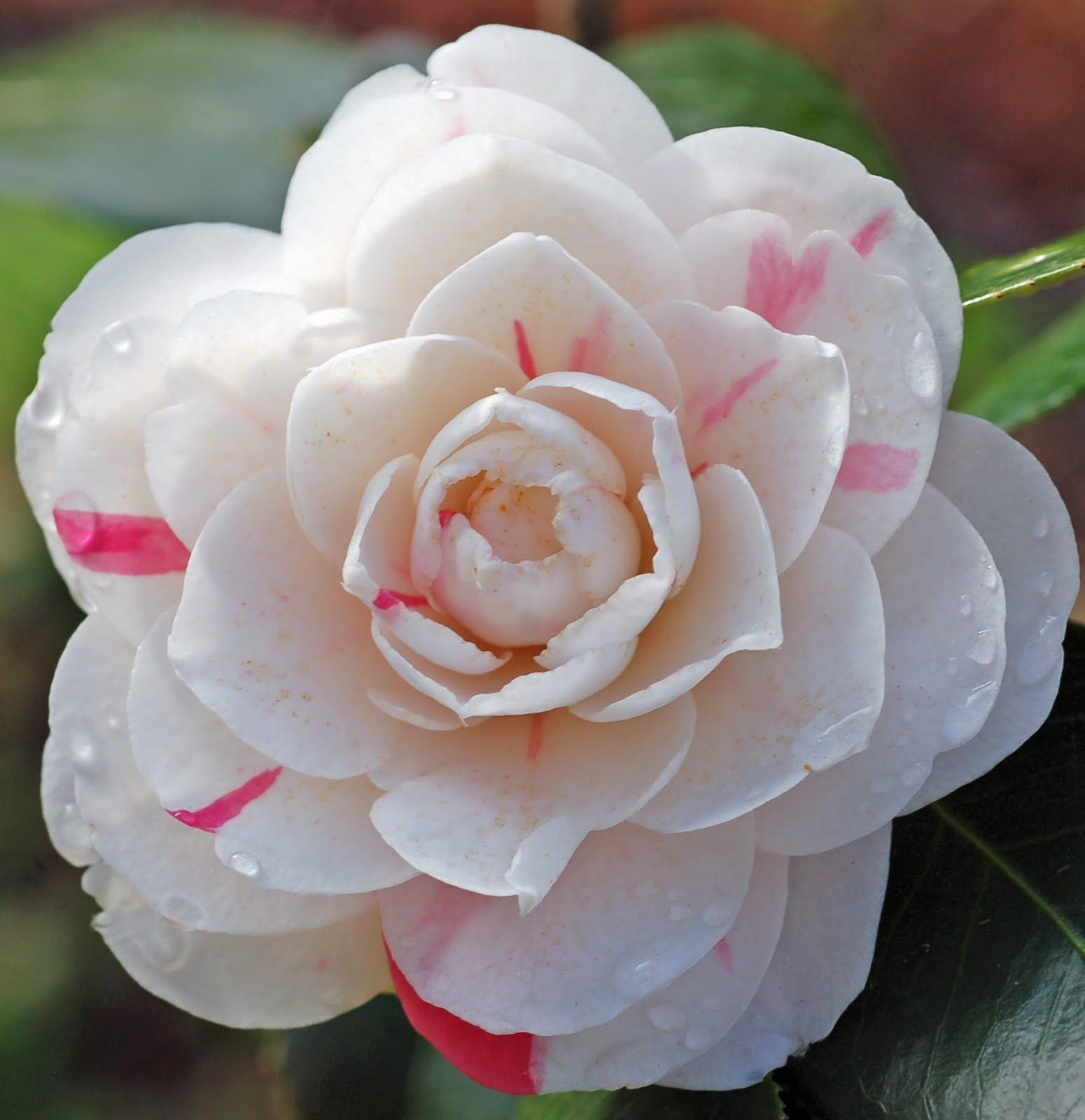 April Dawn Camellia Japonica Zone 6 Camellia Plant Plant Pot Diy Flower Seeds