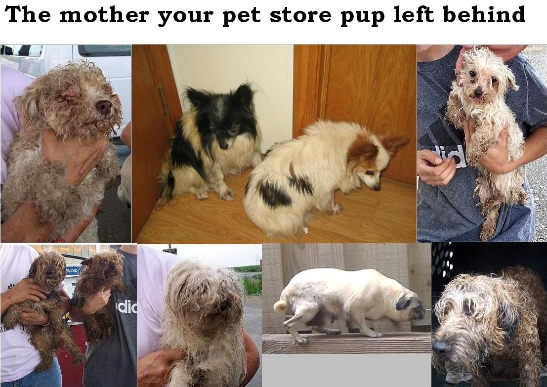 All Dogs Need A Home But Think Before You Support Pet Store Puppies