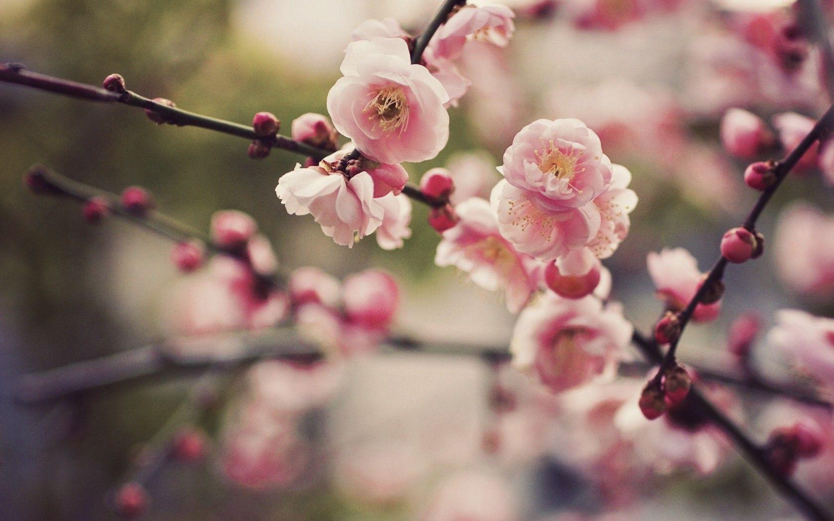cherry blossoms pakistan Google Search farm house