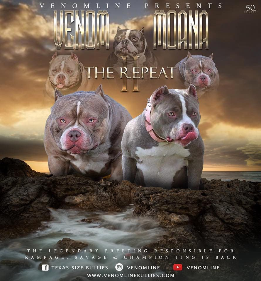American Bully Legend Louis V Line S Venom Retires Sons Rightful Heirs Lay Claim To The Throne In 2020 American Bully Kennels American Bully Puppies For Sale